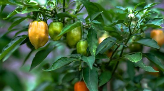 Historie chilli papriček habanero